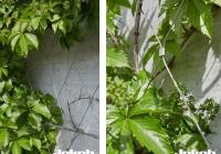 Gevelbegroeiing-@10-1
