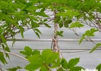 Gevelbegroeiing-@7-2